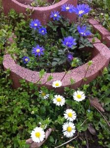 Strahlen-Anemone – glaube ich nur, weiß ich aber nicht. Hab ich ihm Herbst gesetzt und natürlich vergessen, das Pflanzenkärtchen aufzuheben. Jedenfalls macht sie sich gut neben den Wiesen-Gänseblümchen.