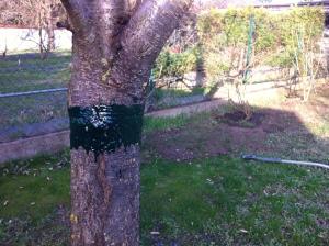 Kirschbaum mit Ring aus Raupenleim.