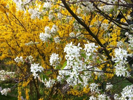 Im Frühjahr blüht sie kurz und heftig, heuer gleichzeitig sonst direkt nach der Forsythie.