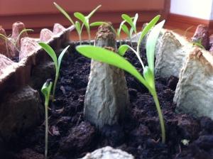 Ringelblumen ähneln den kleinen Karotten, sehen aber von Anfang an robuster aus.