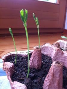 An lange, lange Gräser erinnern die kleinen Duftwicken. Ich weiß, dafür ist es eigentlich und sowieso schon zu spät, aber das scheint sie –indoor –nicht zu stören.