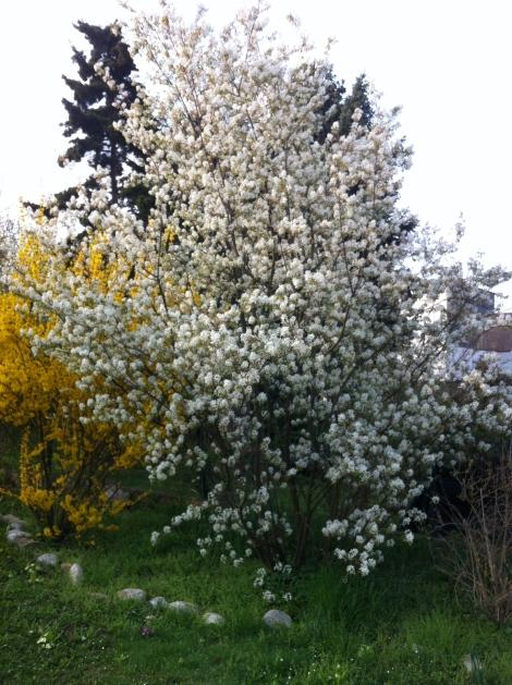 Blüt kurz und heftig, ziemlich gleichzeitig mit der Forsythie.