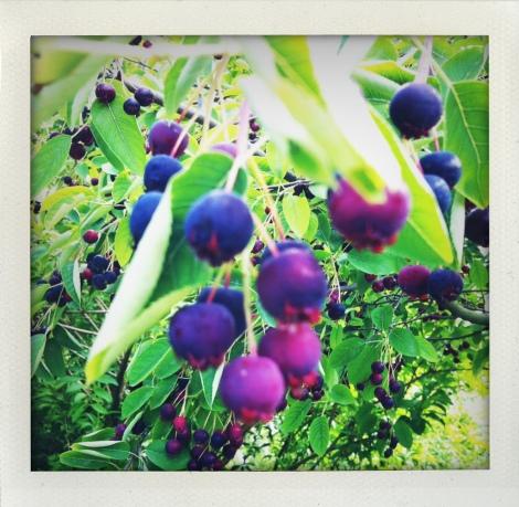 Die Äste bogen sich heuer unter den Früchten.