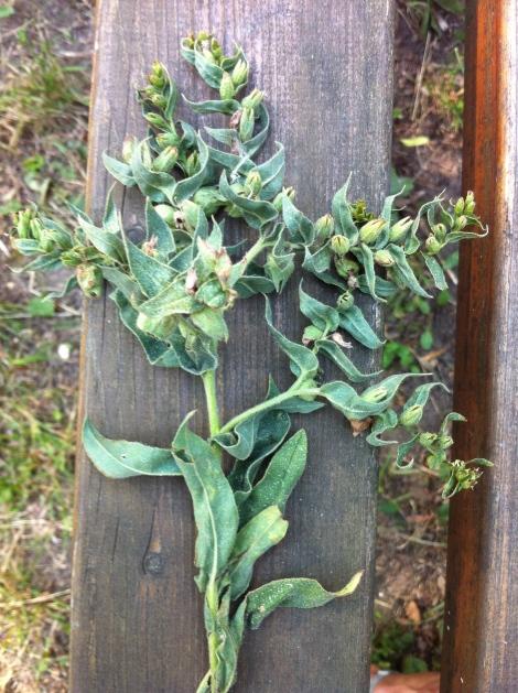 Hier war alles klar: eine Dürrpflanze. Wird in den Herbst hinein auch noch dürrer.