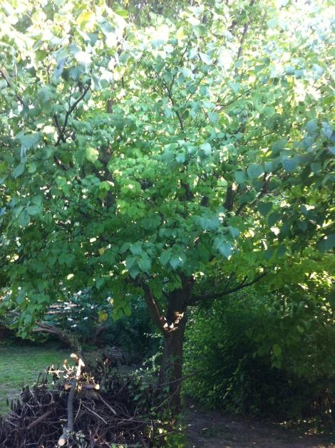 Und schön unter der Zwetschke drapiert –die Zweige des Hollers. Muss ich auch mal wegräumen.