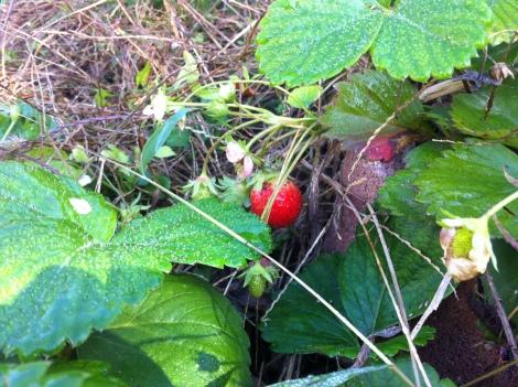 """Bei Bellaflora hab ich 4 Pflänzchen gekauft – am """"Erdbeersonntag"""" (1+1 gratis) – und seitdem immer Erdbeeren gehabt. Nächstes Jahr werden's noch mehr. Für ein paar Pflänzchen ist noch Platz!"""