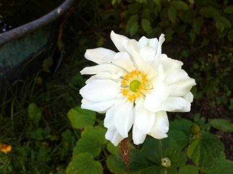 """Die zweite, die ich gesetzt habe, """"schläft"""" noch. Hoffe, die lässt auch bald Blüten blicken."""