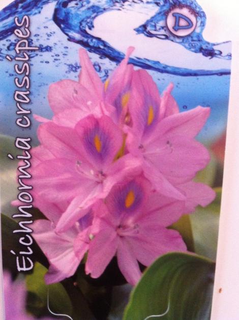 In Blüte hab ich sie leider nie gesehen. Zu tief, zu klein, zu falsch mein Teich? Ich probier's trotzdem nächstes Jahr noch mal.