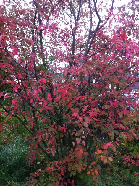 Ob es nun eine Apfelbeere oder Kupfer-Felsenbirne ist, ihre Herbsterscheinung ist in jedem Fall wunderschön.
