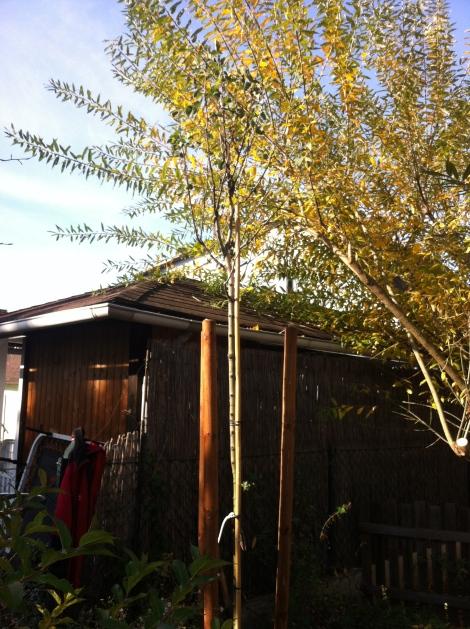Stattliche 3 Meter ist er bereits groß. Hoffentlich wächst er brav und kann das eingehende Palmkatzerl in ein paar Jahren ersetzen.