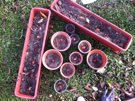 Rein ins Erde-Sand-Gemisch mit den zukünftigen Tulpen und darüber noch mehr Erde.