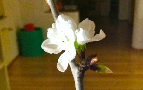 Schön ist es auf jeden Fall, wenn das Zweigerl zu Weihnachten aufblüht –so wie dieses Weihnachten 2012. Egal, ob es nun von einem Obstbaum – der Klassiker sind Kirschzweige – oder einem anderen Gewächs kommt.