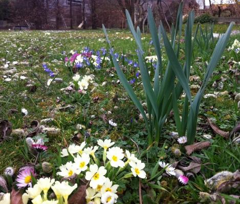 Gleich neben der Kupferfelsenbirne kündigen sie jedes Jahr den Frühling an: Primeln, Glockenblümchen und kommen da noch Narzissen?