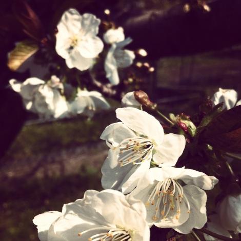 Immer wieder faszinierend für mich, dass die wunderschönen Kirschblüten nicht duften.