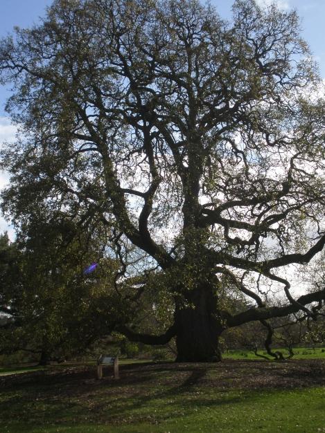 Und eine davon steht in Kew –bereits seit Ende des 18. Jahrhunderts.