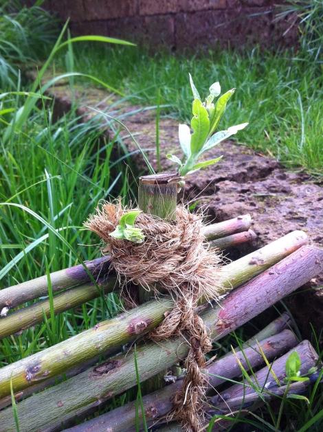 Auch der Weidenzaun wächst.