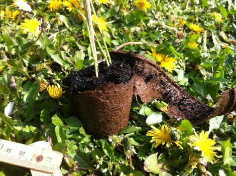 Zumindest den Rand der Aussaattöpfchen sollte man entfernen, damit er den Pflanzen nicht das Wasser absaugt.