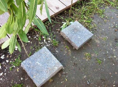 Probeweise habe ich die Triebspitzen mal nur mit Steinen beschwert und noch nicht begraben.