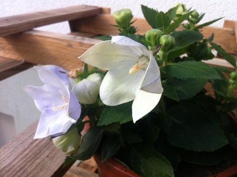 Die findet man auch momentan in jedem Gartencenter/Baumarkt –Ballonblumen.