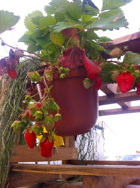 Und die ersten Hängeerdbeeren sind bereit zum Ernten. Das ist die Pflanze vom letzten Jahr, eine neue, die dazu gekauft habe, trägt noch keine Früchte.