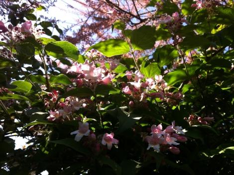 Die Kolkwitzie seh ich nur blühen, wenn ich nach hinten in den Garten gehe.