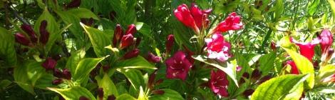 Hibiskus Schneiden Die Gartenanfangerin