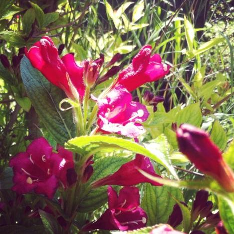Die Weigelie ist eine schöne Heckenpflanze, weil auch schön dicht.