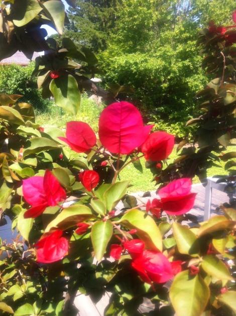 Und wenn sie dann verblüht sind, kann man die Triebe ca. ein Drittel einkürzen, dann gibt's eine zweite Blüte.