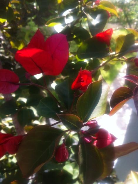 Diese und noch eine rosa blühende und dann noch eine gelbe habe ich bekommen.