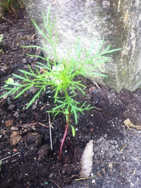 Die Cosmea erkennt man von klein auf an ihren charakteristisch schmalen Blättern.
