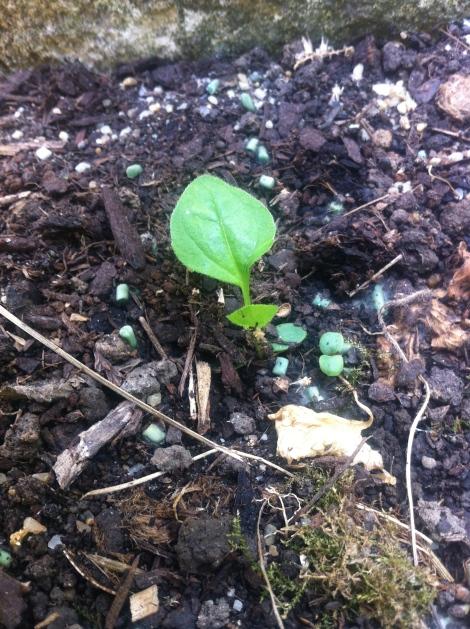 Die Echinacea in ganz klein noch, ihre Blätter sind etwas pelzig.