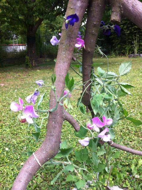 Schöner- und interessanterweise blüht eine Pflanze hell und dunkel. Und sie duften herrlich.