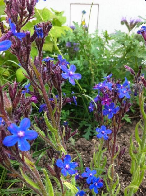Einfach eine geile Farbe. Das Blau-lila dieser Ochsenzungen leuchtet quasi noch im Dunkeln.