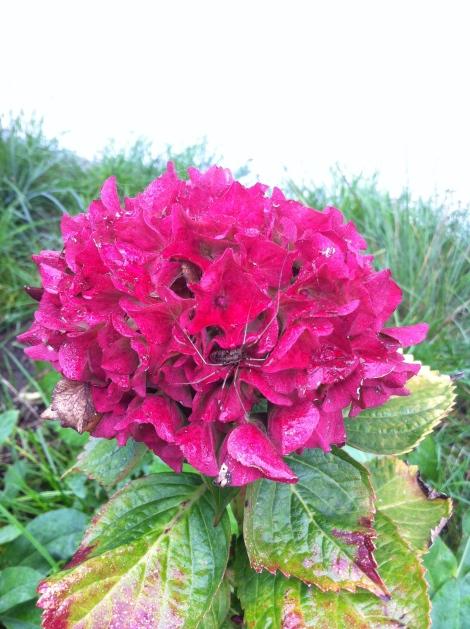 Dasselbe intensive Pink schafft nur die Hortensie im Vorgarten. Der Spinne gefällt' auch.