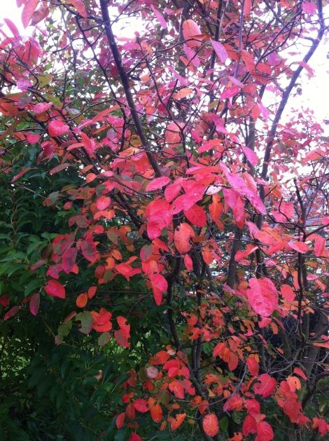 Noch ein schöner Herbstfärber –die Kupferfelsenbirne.