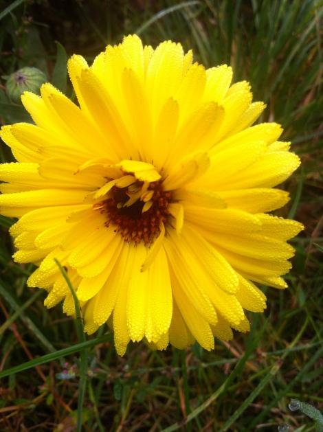 Die Ringelblumen zeigen auch noch mal, was sie können.