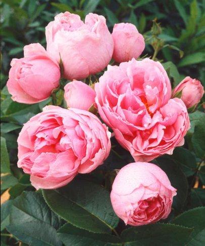 So soll sie also dann aussehen ab Mai, diese üppig blühende und duftende Rose.