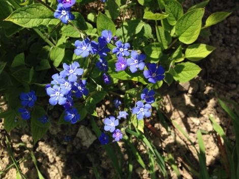 Schon Wochen vor dem Vergissmeinnicht zeigt das Gedenkemein seine intensiv blau blitzenden Blüten.