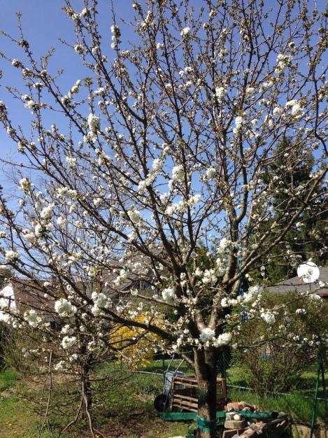 Jeden Tag macht mich der Kirschbaum fröhlicher mit neuen Blüten. Und wenn dann erst die Kirschen kommen.