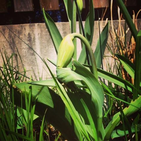 Und dasselbe werden die Tulpen bald machen. Vorerst sind sie noch etwas schüchtern, weil sie nur vormittags Sonne haben.