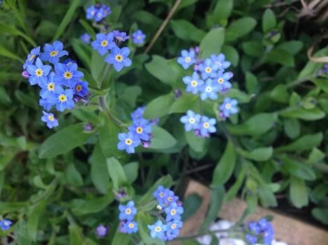 Wie gezeichnet schauen die wundervollen Blüten des Vergissmeinnicht aus.