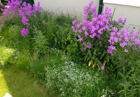 Mein Vorgartenbeet – mein fast ganzer Stolz. Momentan stehen die herrlich duftenden Nachtviolen in voller Blüte.