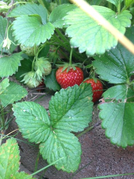 Die meisten Erdbeeren sehen nie unsere Küche, sie landen direkt im Mund.