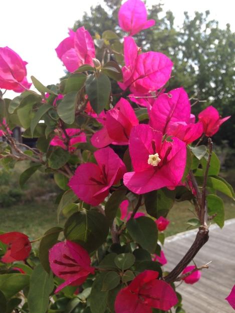 Neben dieser pinken, hab ich noch eine violette und eine gelbe. Letztere lässt aber mit der Blüte heuer noch auf sich warten.