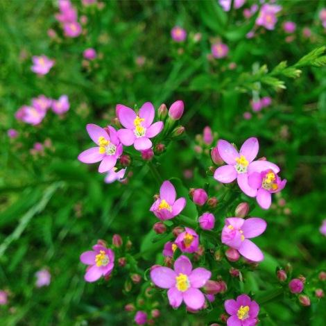 Schön ist auch, dass es Ende Juni, Anfang Juli blüht, wo doch viele Blumen schon wieder fertig sind mit bunt sein.